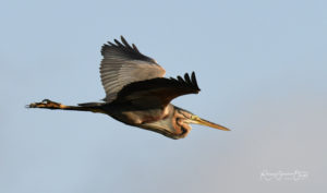 Héron pourpré oiseaux du marais