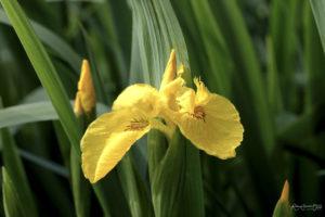 iris jaune en bordure des canaux de la Venise Verte